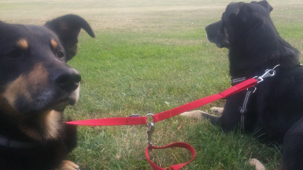 icksrpingande hundar