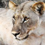 lejon Sydafrika Madikwe