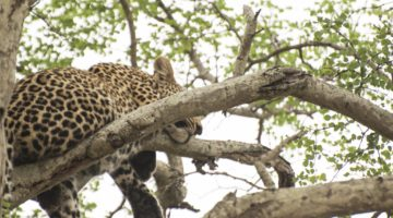 leopardmönstrat naglar leopard Kruger Thornybush