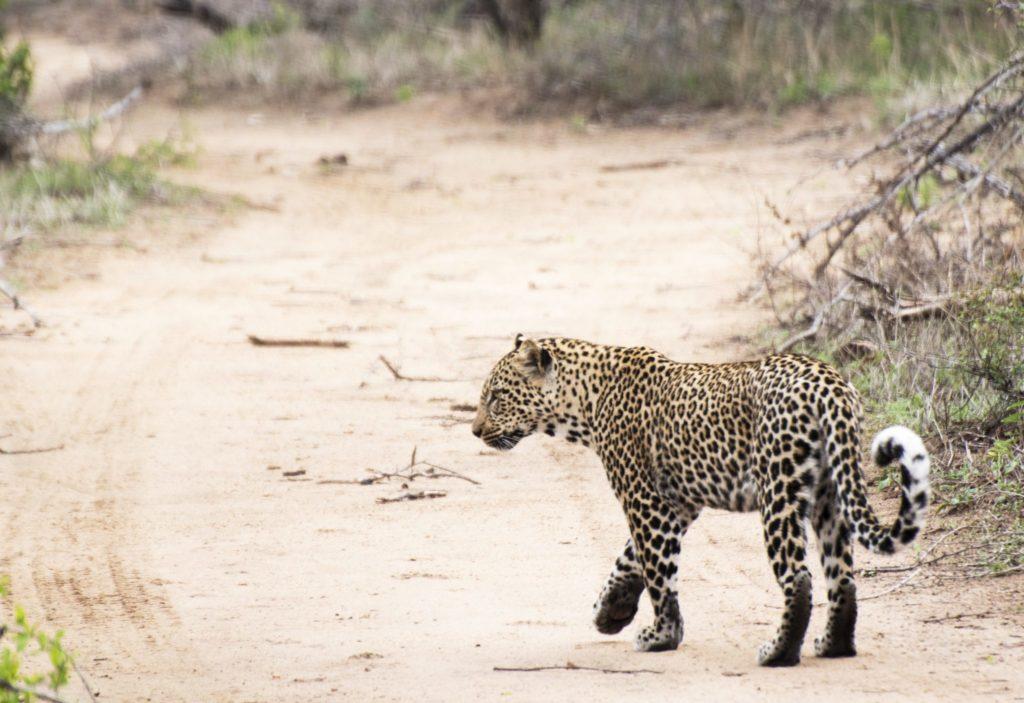 leopardmönstrat leopard Kruger Thornybush
