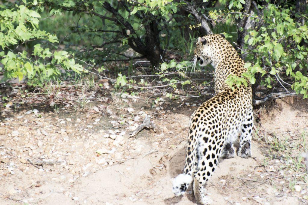leopardmönstrat leopard kruger klaserie